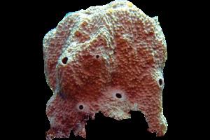 Horny Sponge - Ircinia retidermata