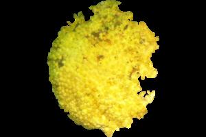 Yellow Boring Sponge - Cliona celata
