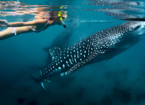 Whale Shark Snorkeling